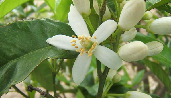 fioridarancio
